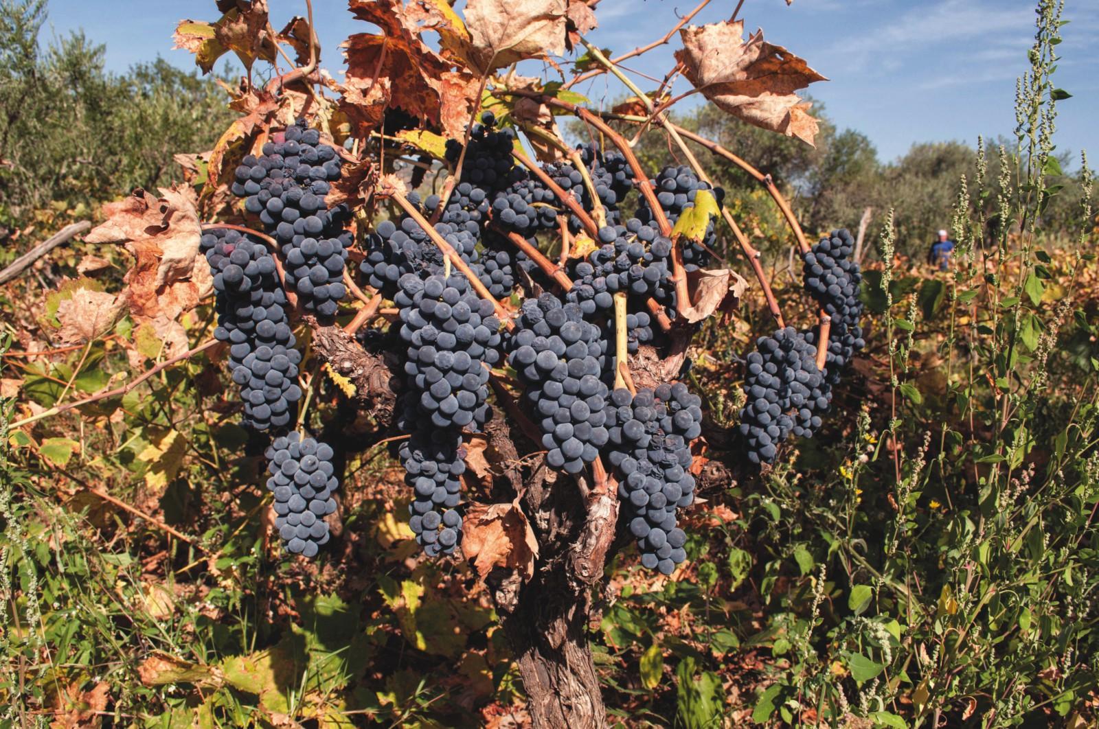 Vino rosso Mileo